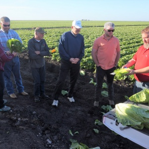 SDARL in Lettuce field